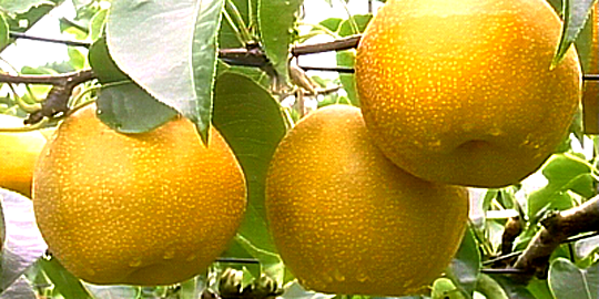 「利府の梨」の写真